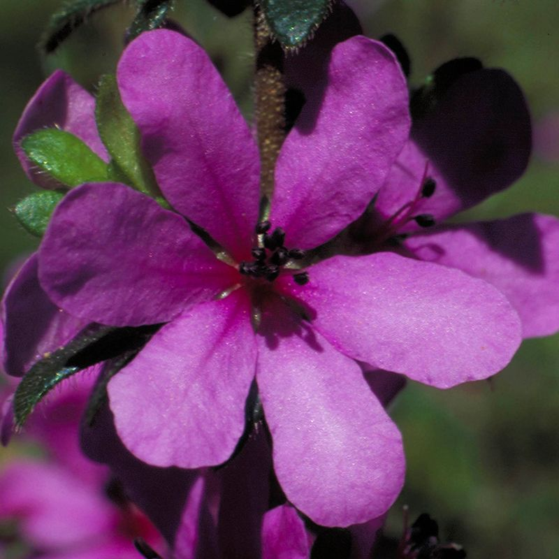 Dog-Rose-of-the-Wild-Forces_800